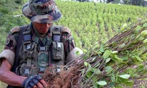 A Colombian soldier examines a coca plantation  (Image from Getty)